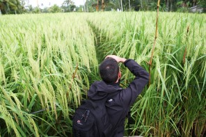 The story behind the photo #3: rice paddy field (indonesia)