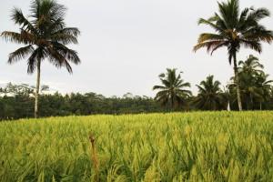 indonesia_bali_rice_field